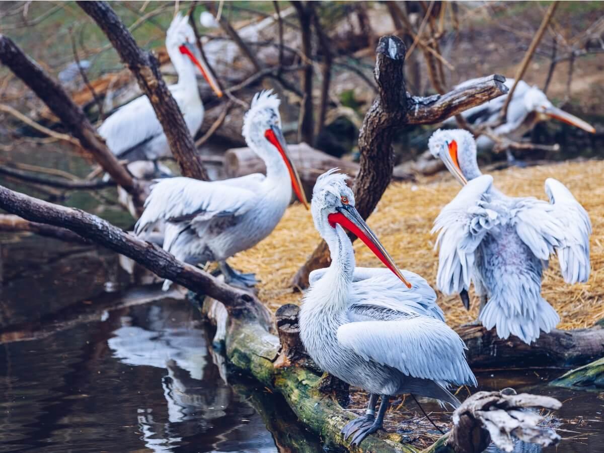 En gruppe dalmatiske pelikaner.