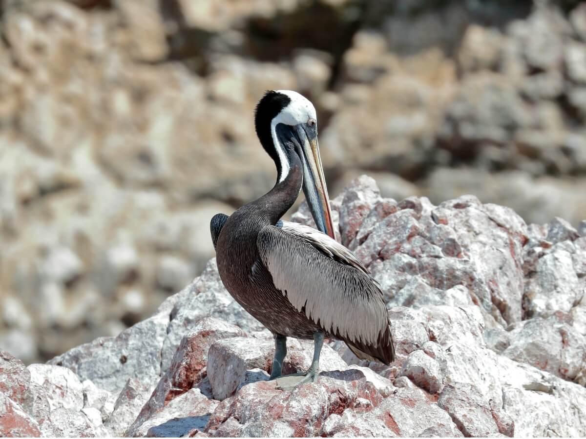 En af en slags pelikaner.