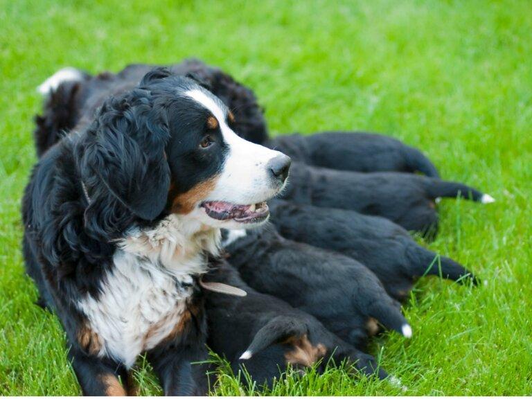 Cuidados para perras despúes de una cesárea