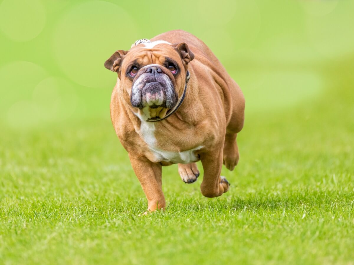 Un chien bouledogue en surpoids.