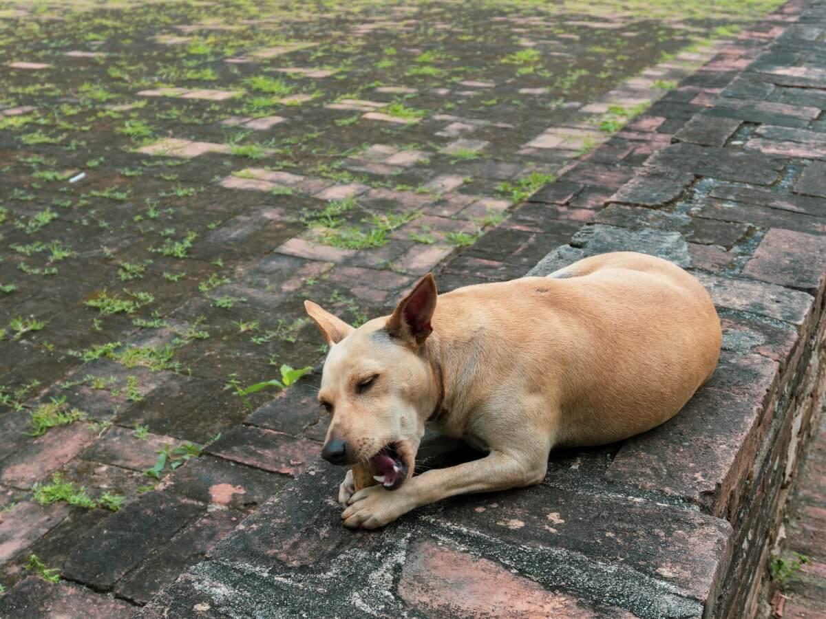 Bir köpek duvardaki bir taşı yiyor.