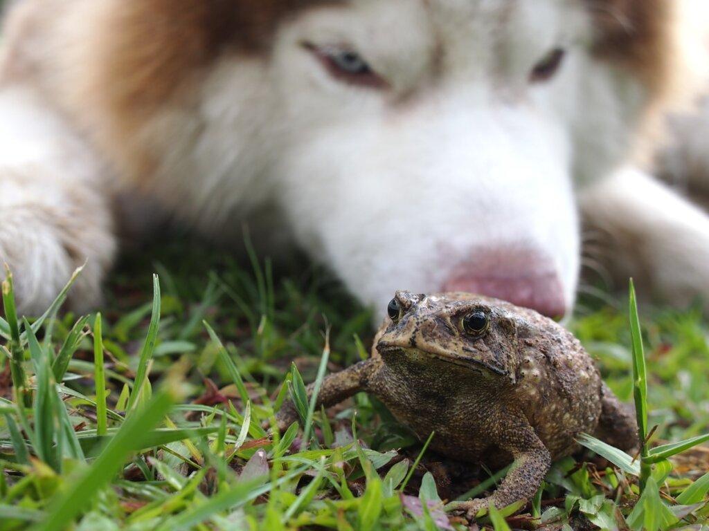 Intoxicación por sapo en perros: síntomas y tratamiento