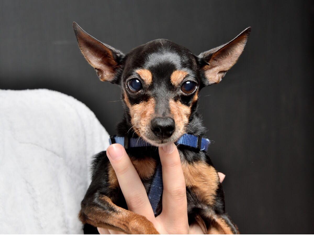 Un perro pinscher mini.