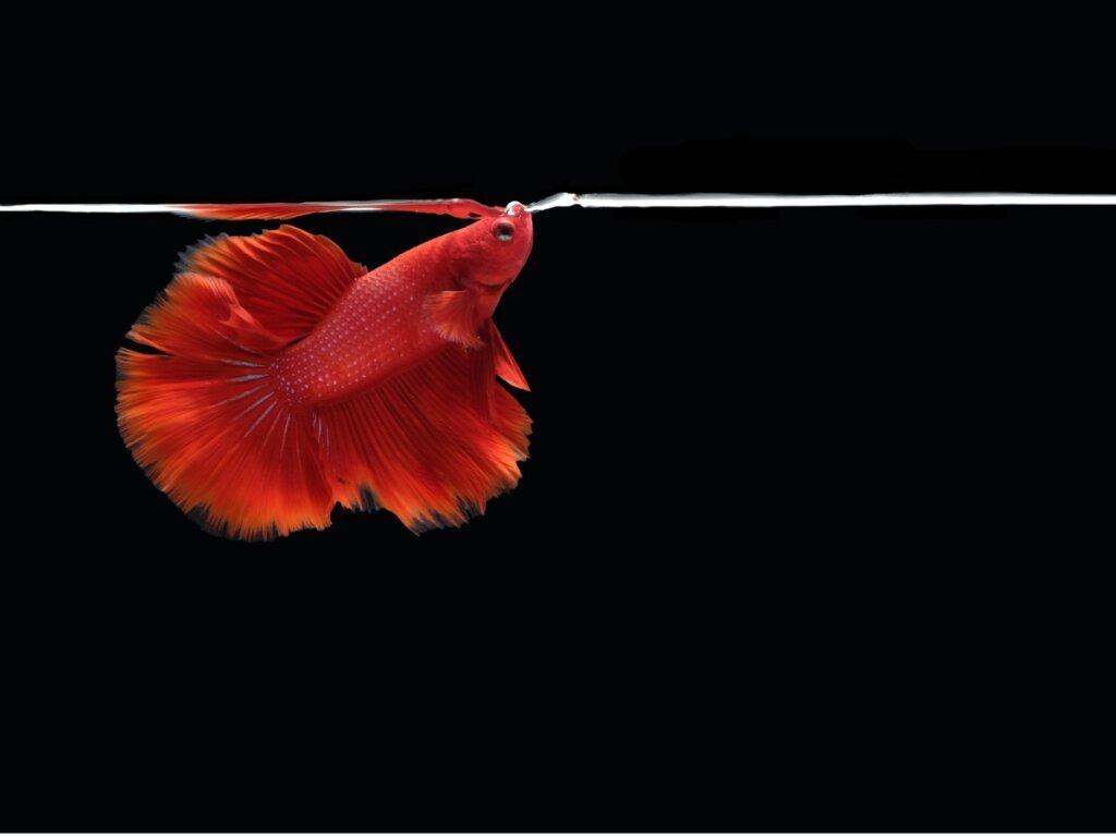 Mis peces boquean mucho y muy rápido: ¿por qué?