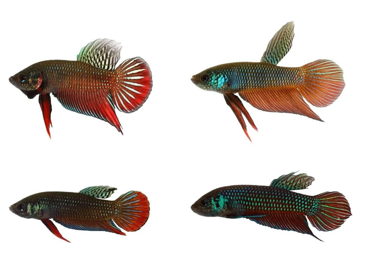 Un pesce betta nella sua forma selvaggia.