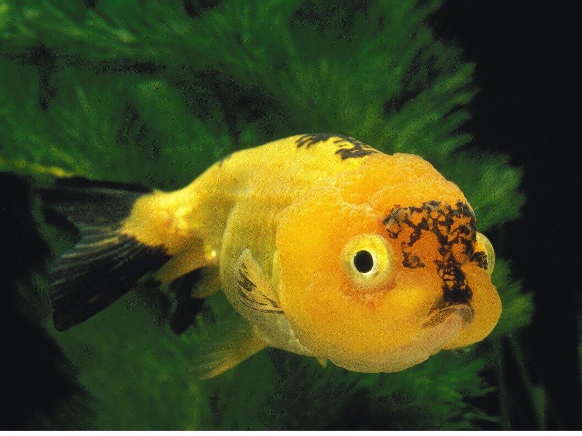 Un pez cabeza de león de color amarillo.