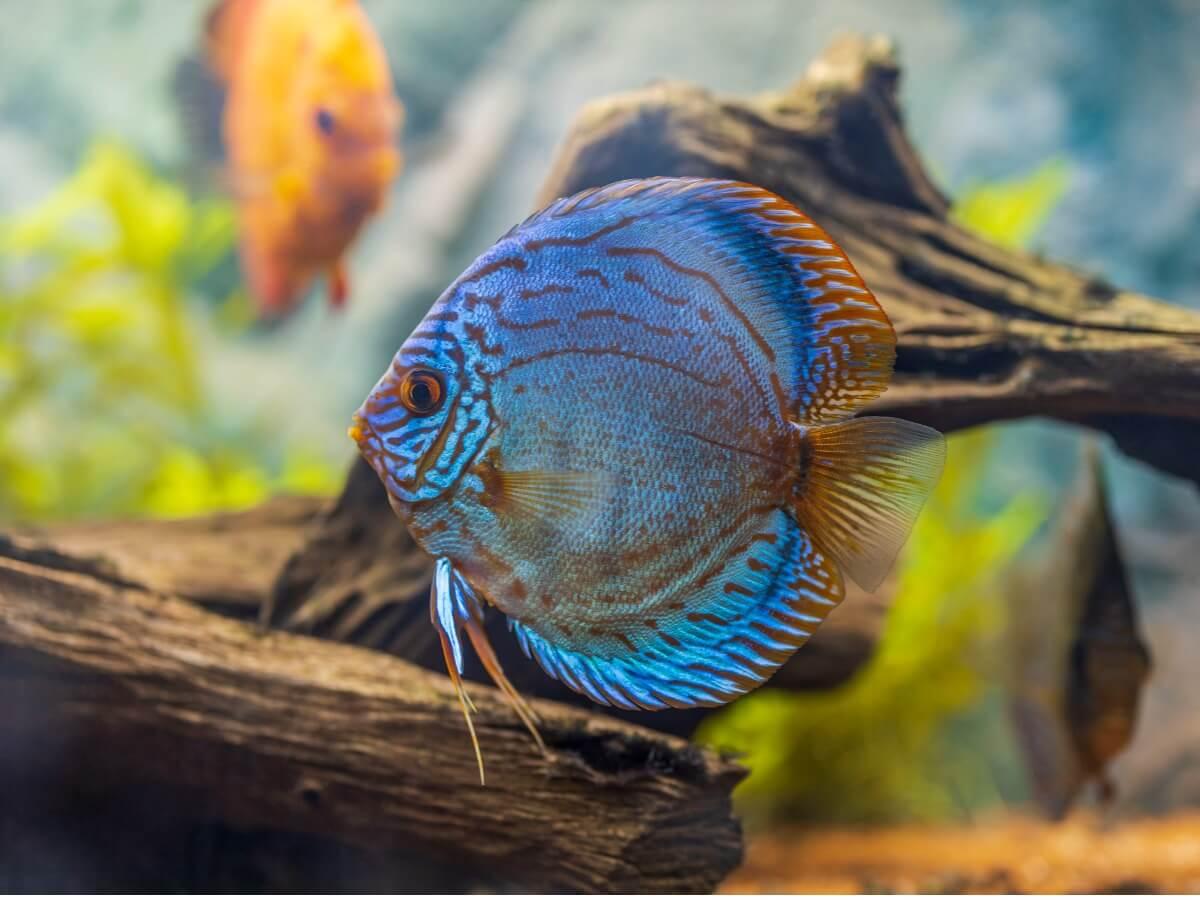 Un poisson discus bleu.