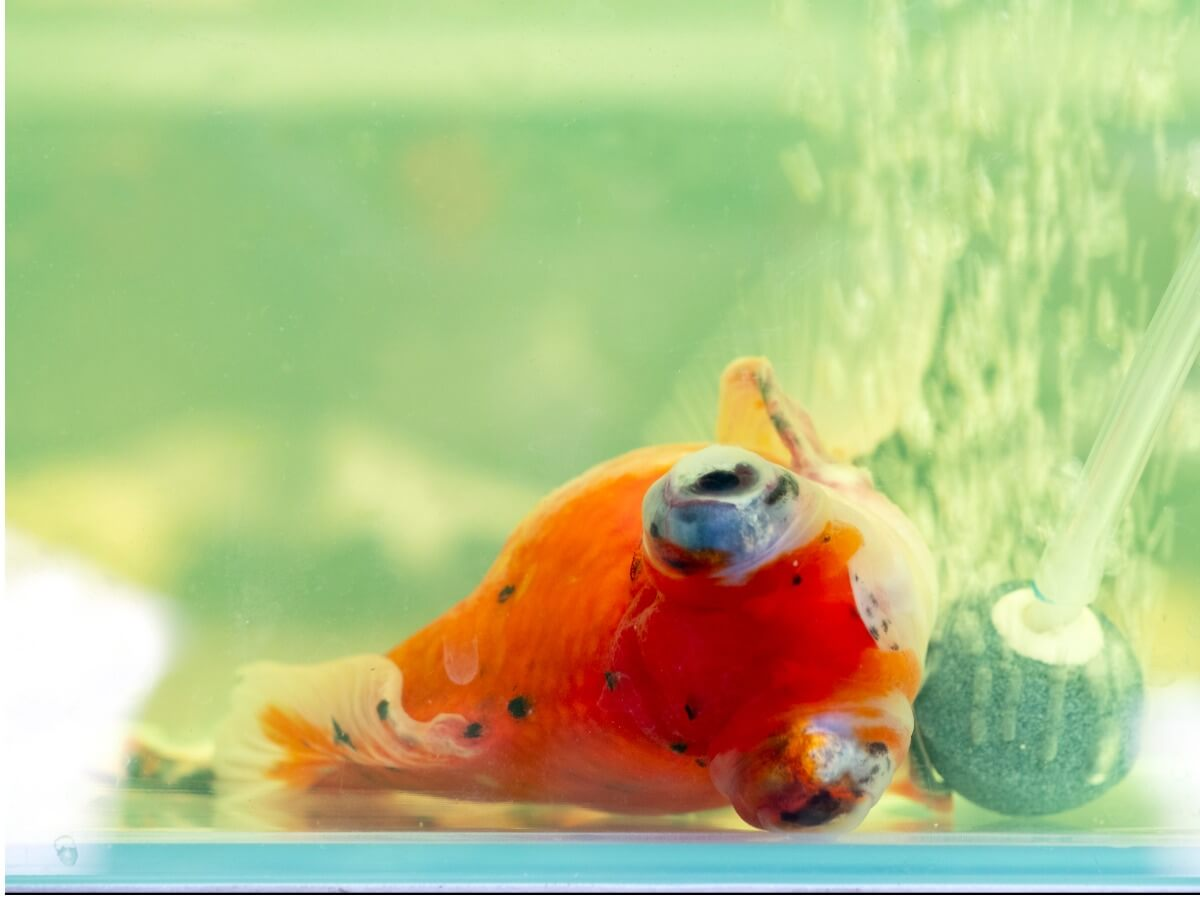 Un pesce malato nuota di lato.