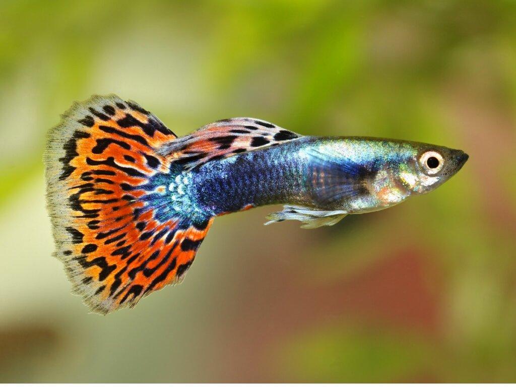 10 curiosidades del pez guppy