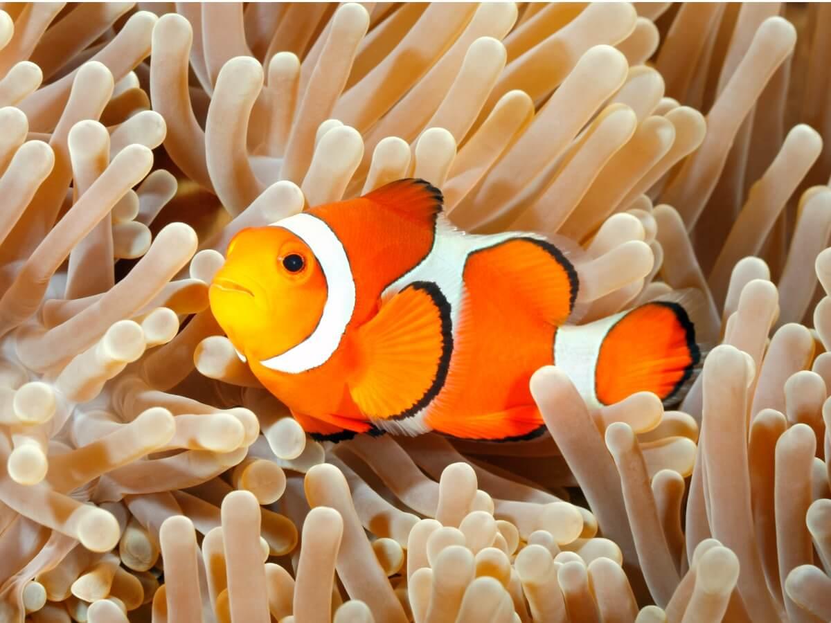 Conoscete alcune delle curiosità del pesce pagliaccio?