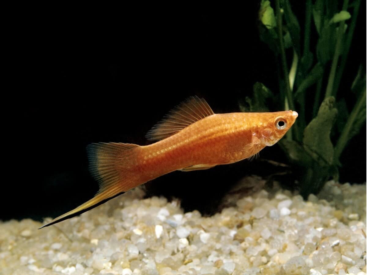 Uno de los peces aptos para principiantes.