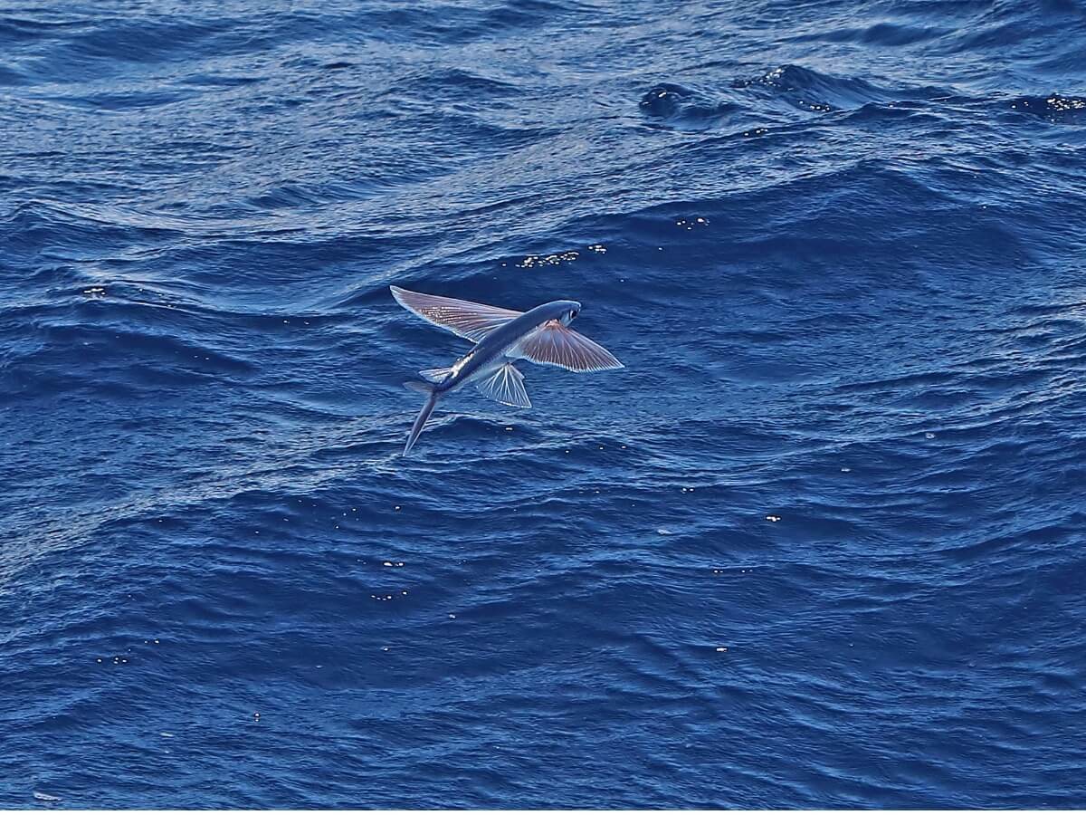 L'un des animaux les plus rapides de l'océan.