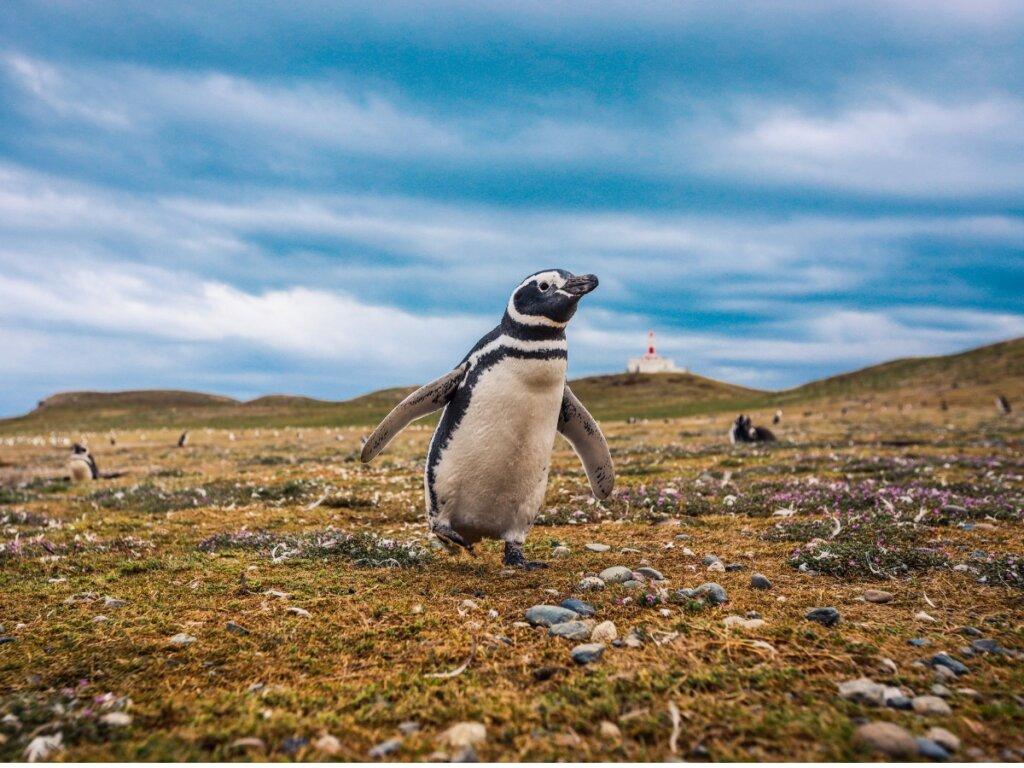 Pingüino de Magallanes: hábitat y características