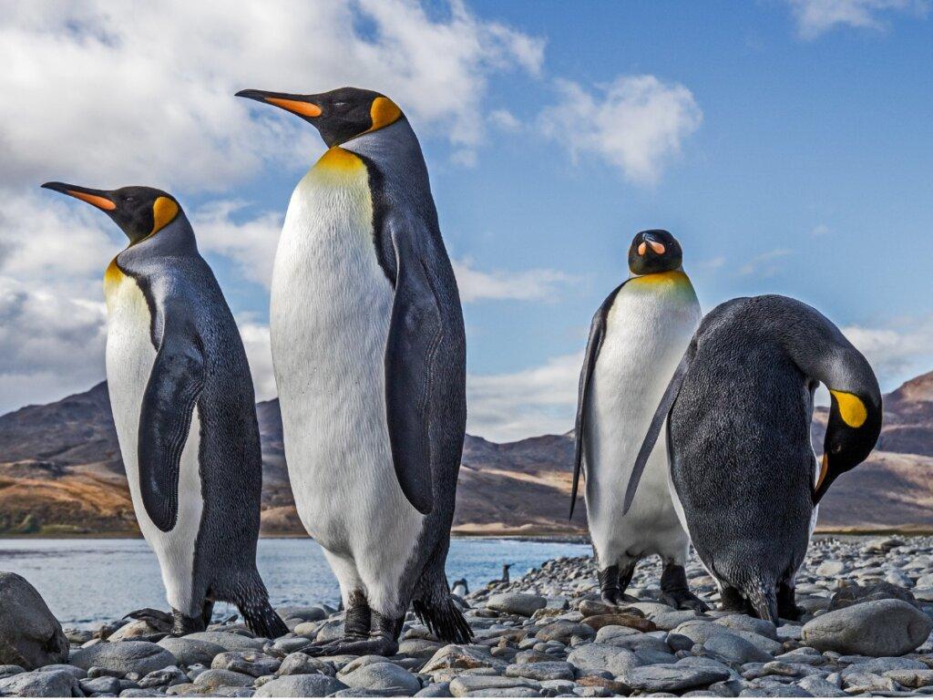 Pingüino rey: hábitat y características