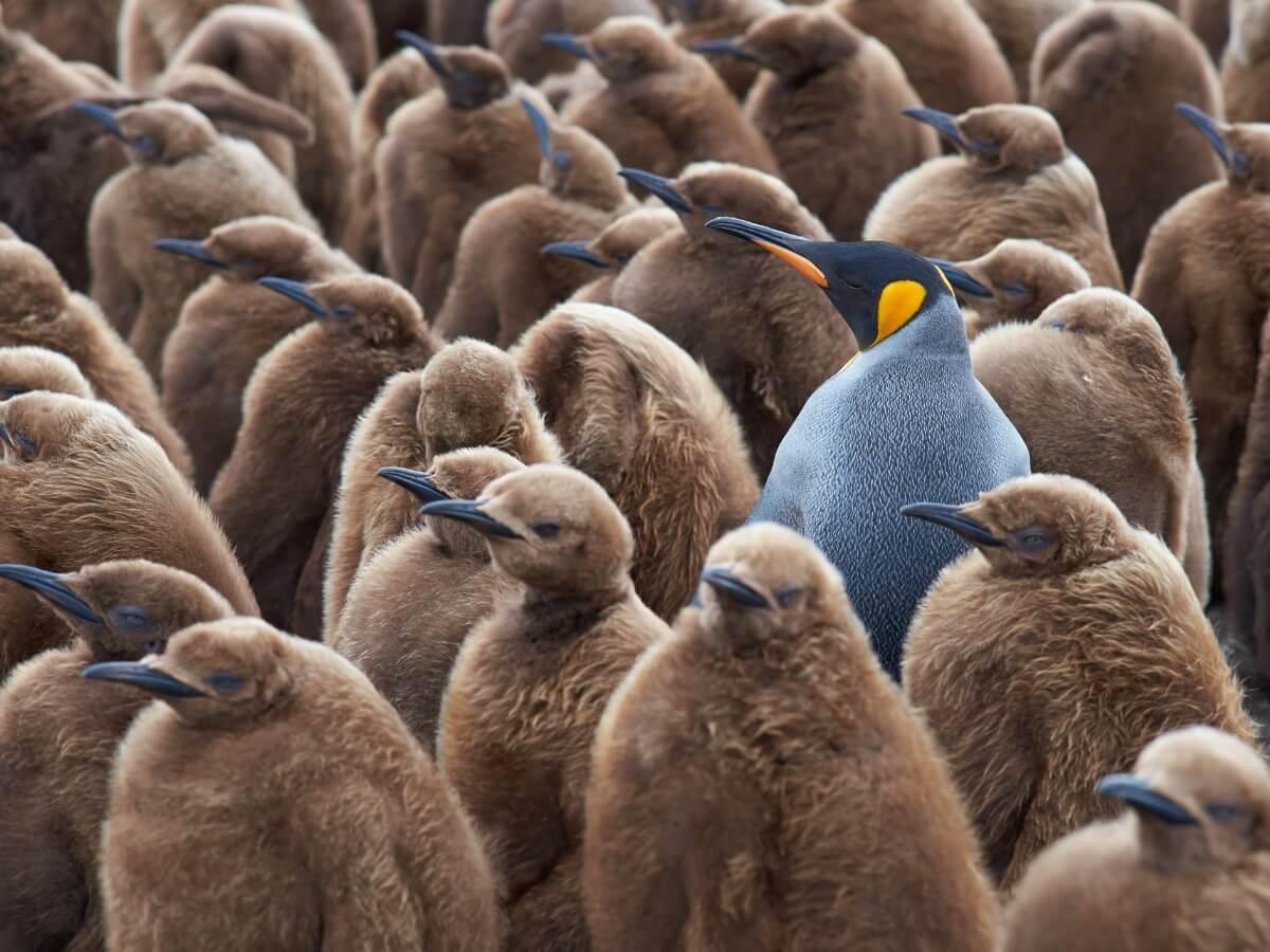 Un pingüino rodeado de juveniles.