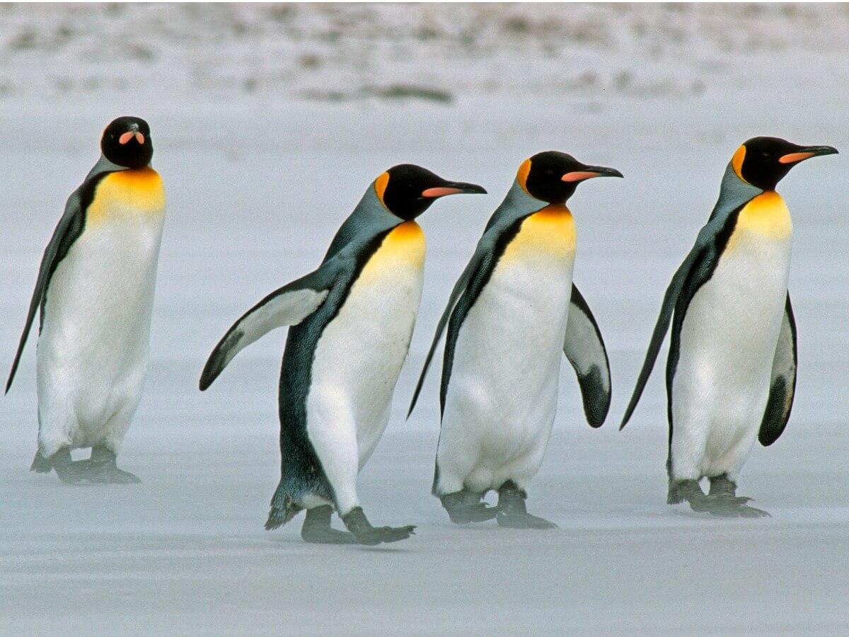 Un grupo de pingüinos en el hielo.