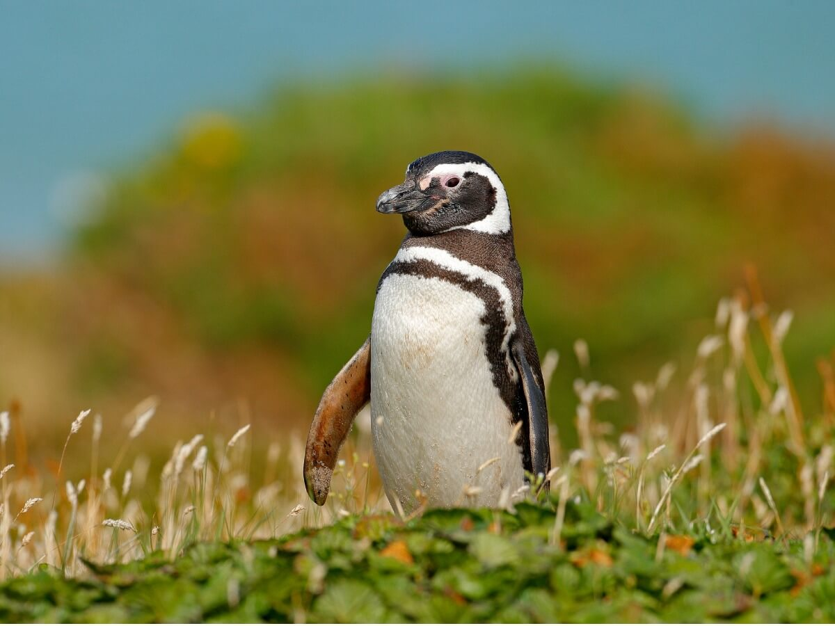 Un pingouin dans l'herbe.
