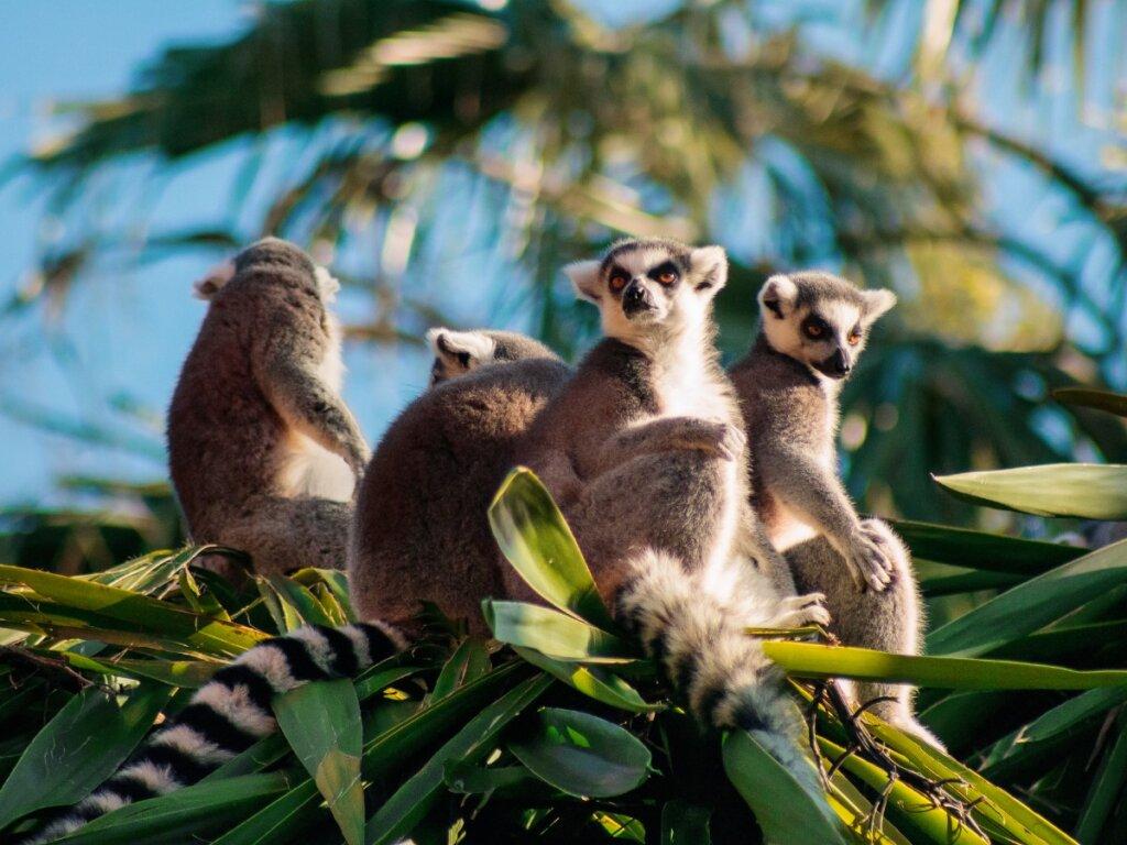 La mayoría de primates de Madagascar está en peligro de extinción