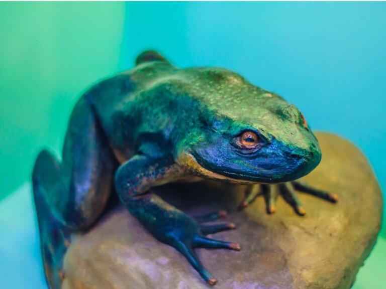 Rana goliat: hábitat y características
