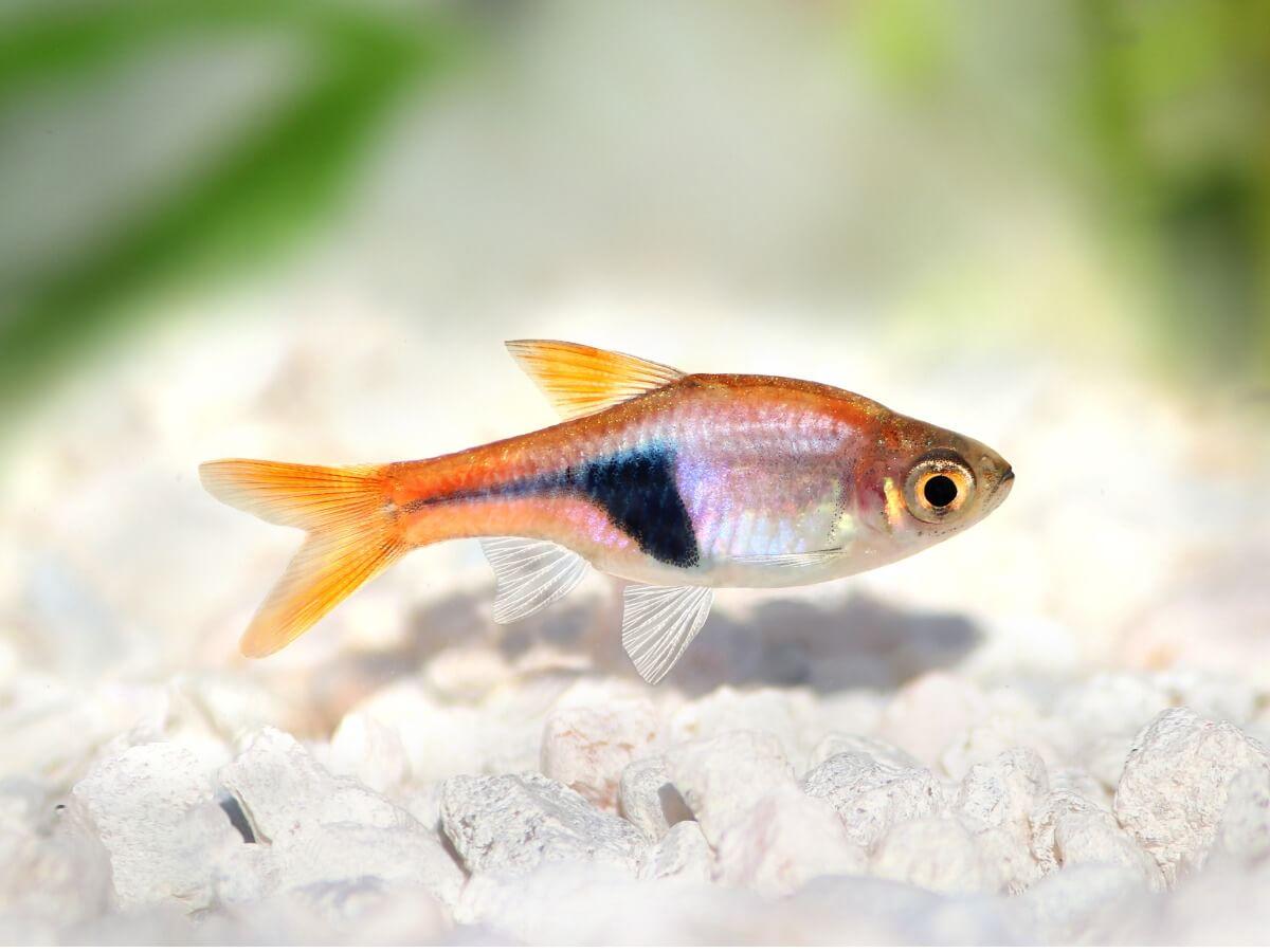 Uno de los peces para principiantes.