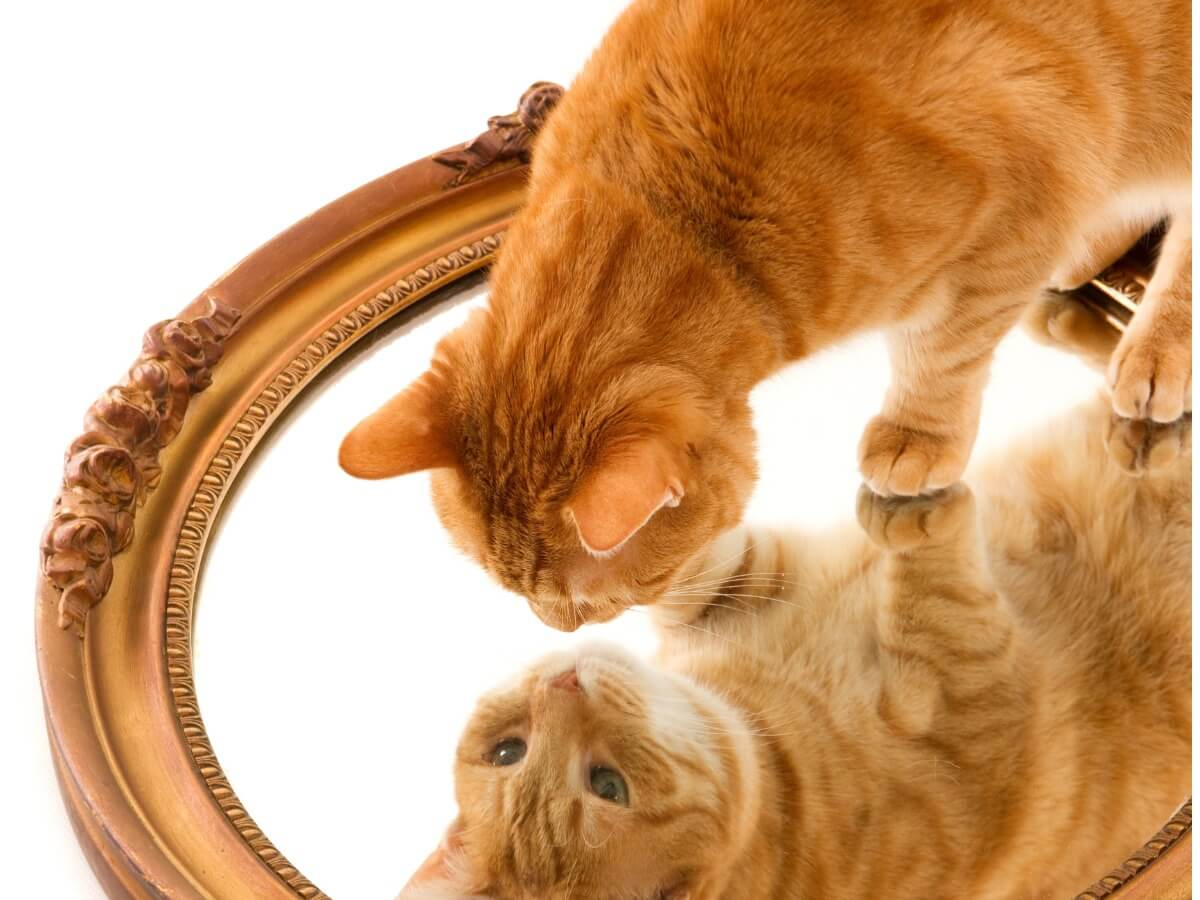 13 razas de gatos naranjas