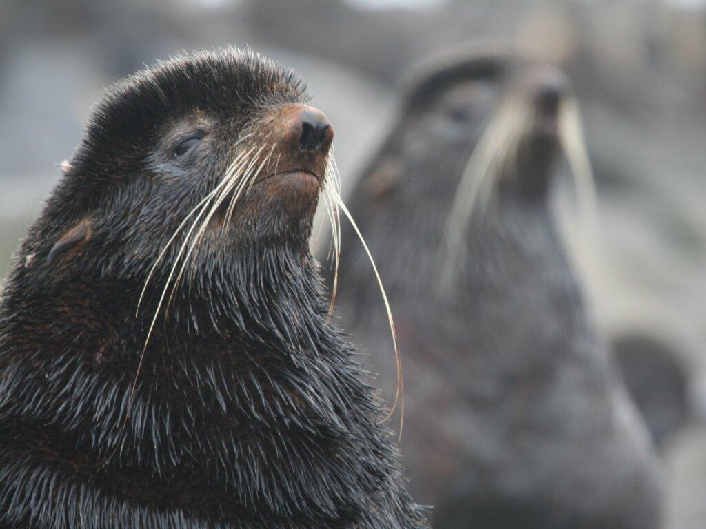 Oso marino ártico: hábitat y características
