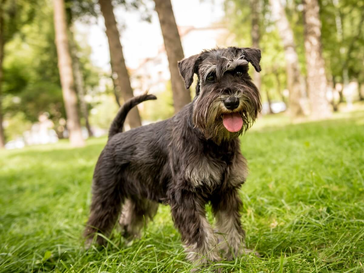 Miniature schnauzer care is highly variable.