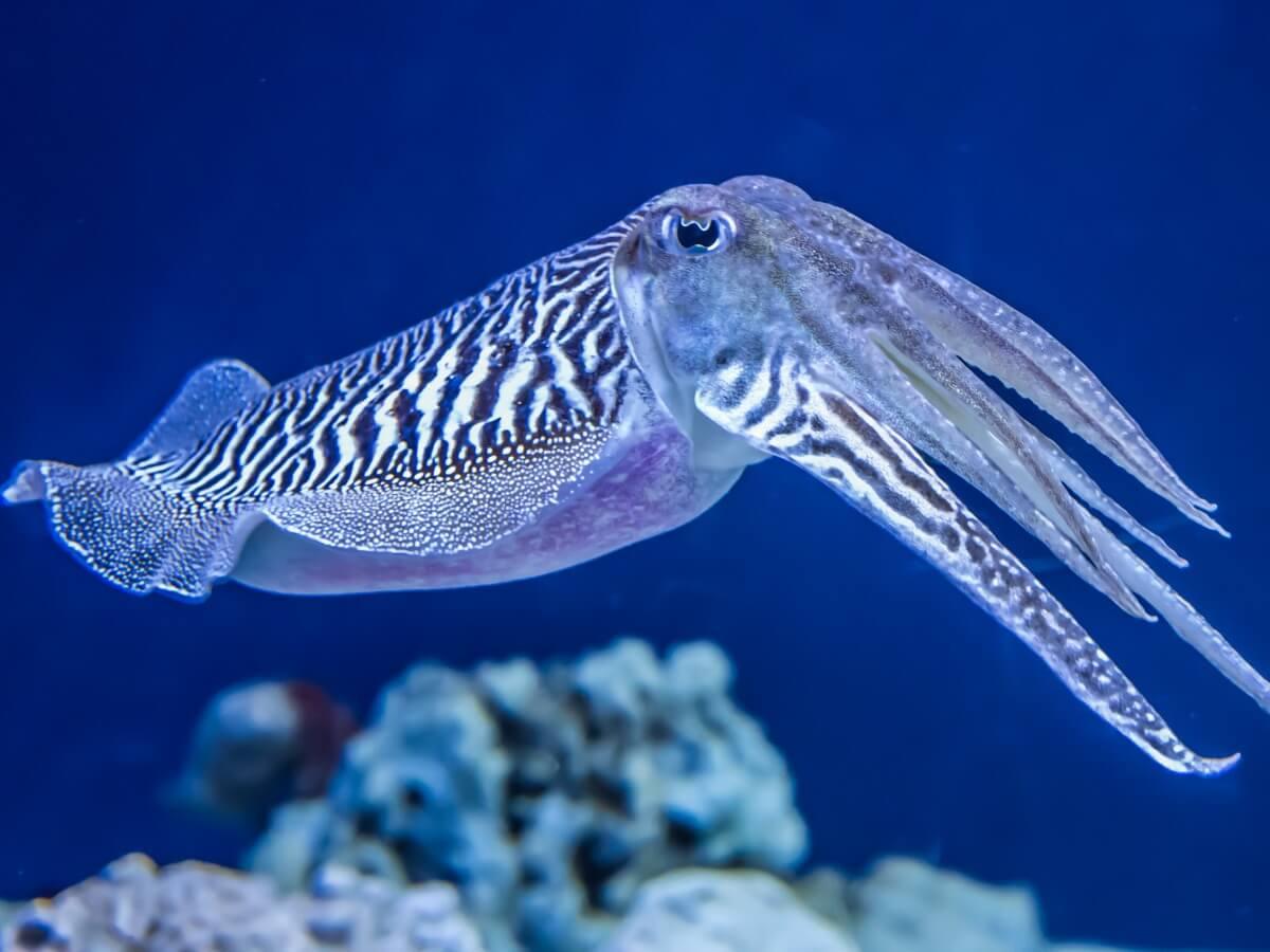 Una sepia común en el mar.