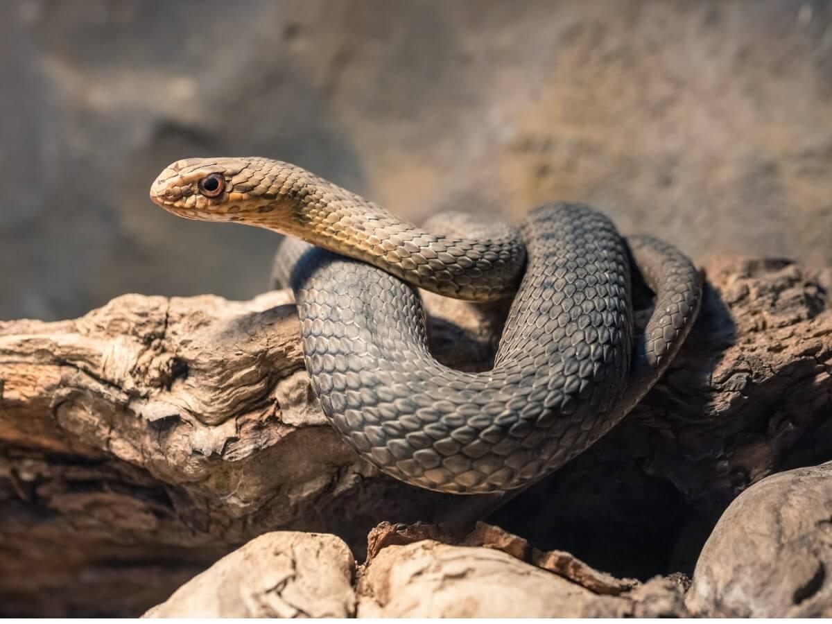 Una serpiente bastarda sobre un tronco.