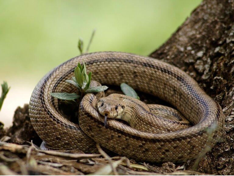 Serpiente de escalera: hábitat y características