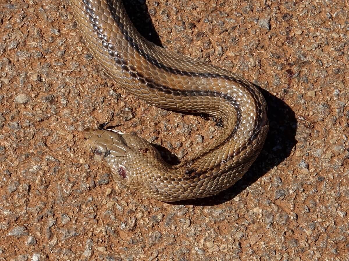 Una serpiente de escalera cruzando la carretera.