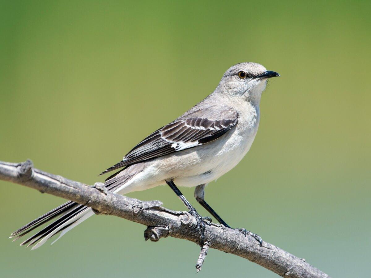 Otro de los pájaros que cantan por la noche.