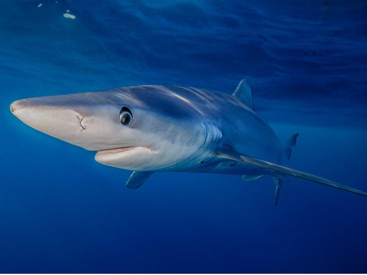Uno degli animali più veloci dell'oceano.