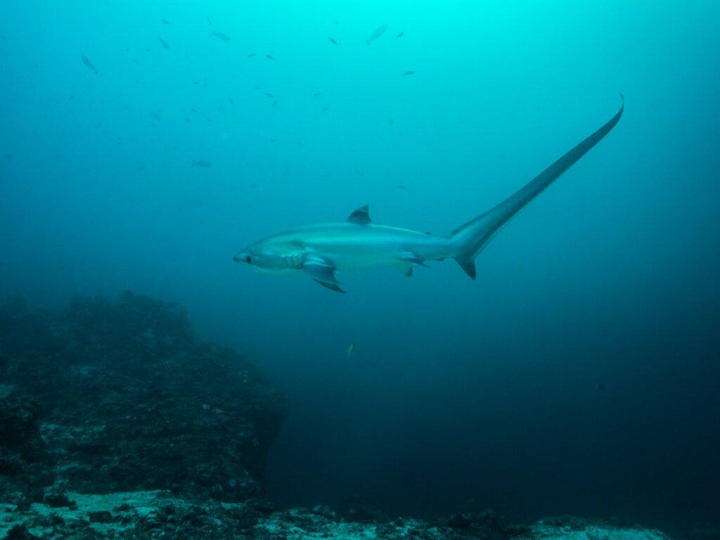 Tiburón zorro: hábitat y características