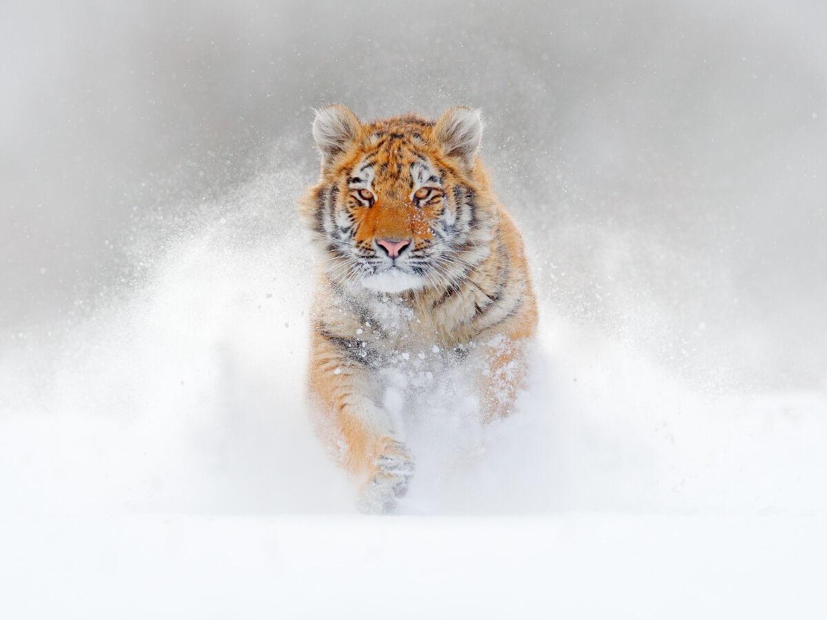 Un tigre de bengala en la nieve.