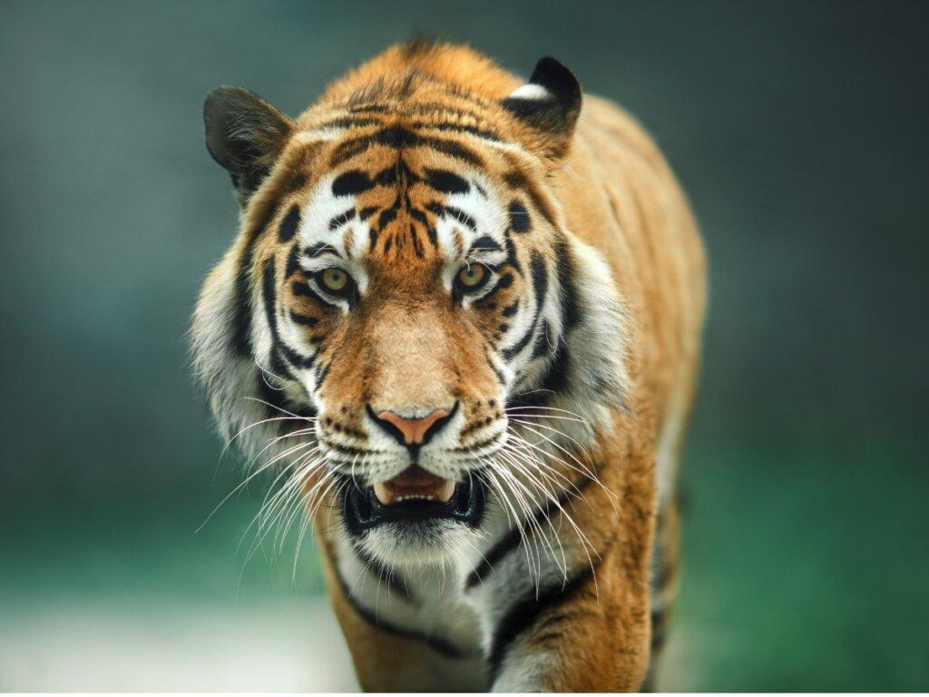 Comportamiento del tigre