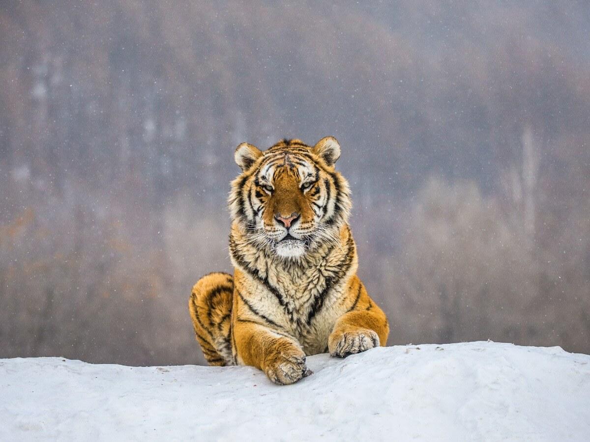 Un tigre de Sibérie qui court.