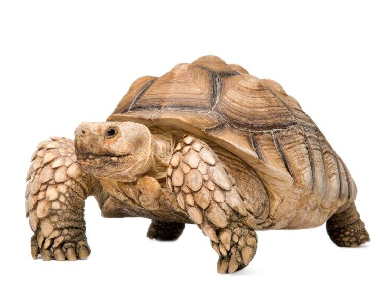 Tortuga sulcata: hábitat y características