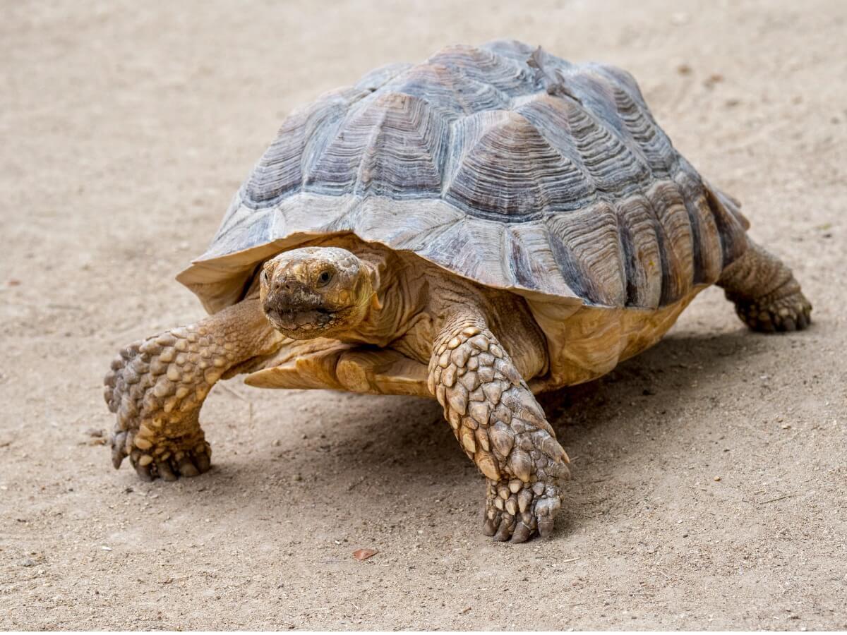 A sulcata tortoise.