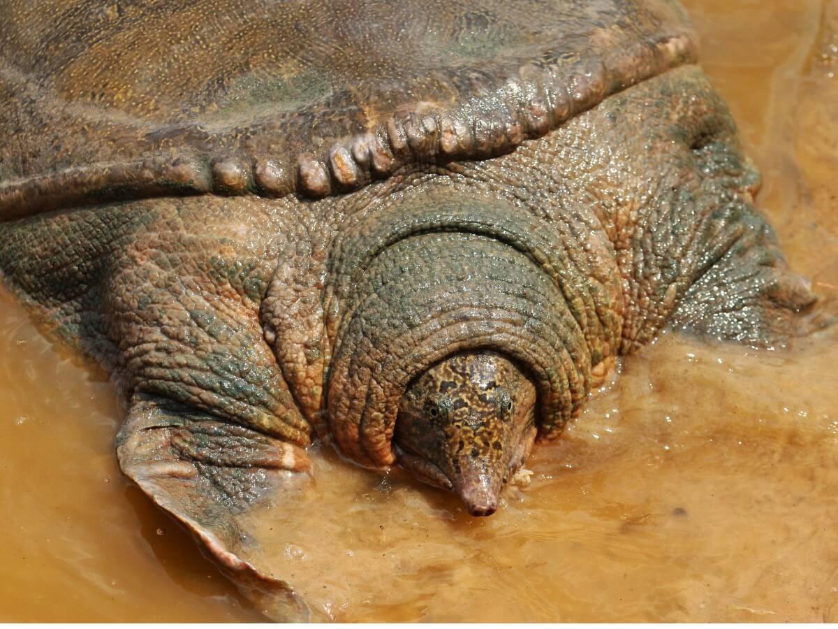 Tortuga de swinhoe: hábitat, características y conservación