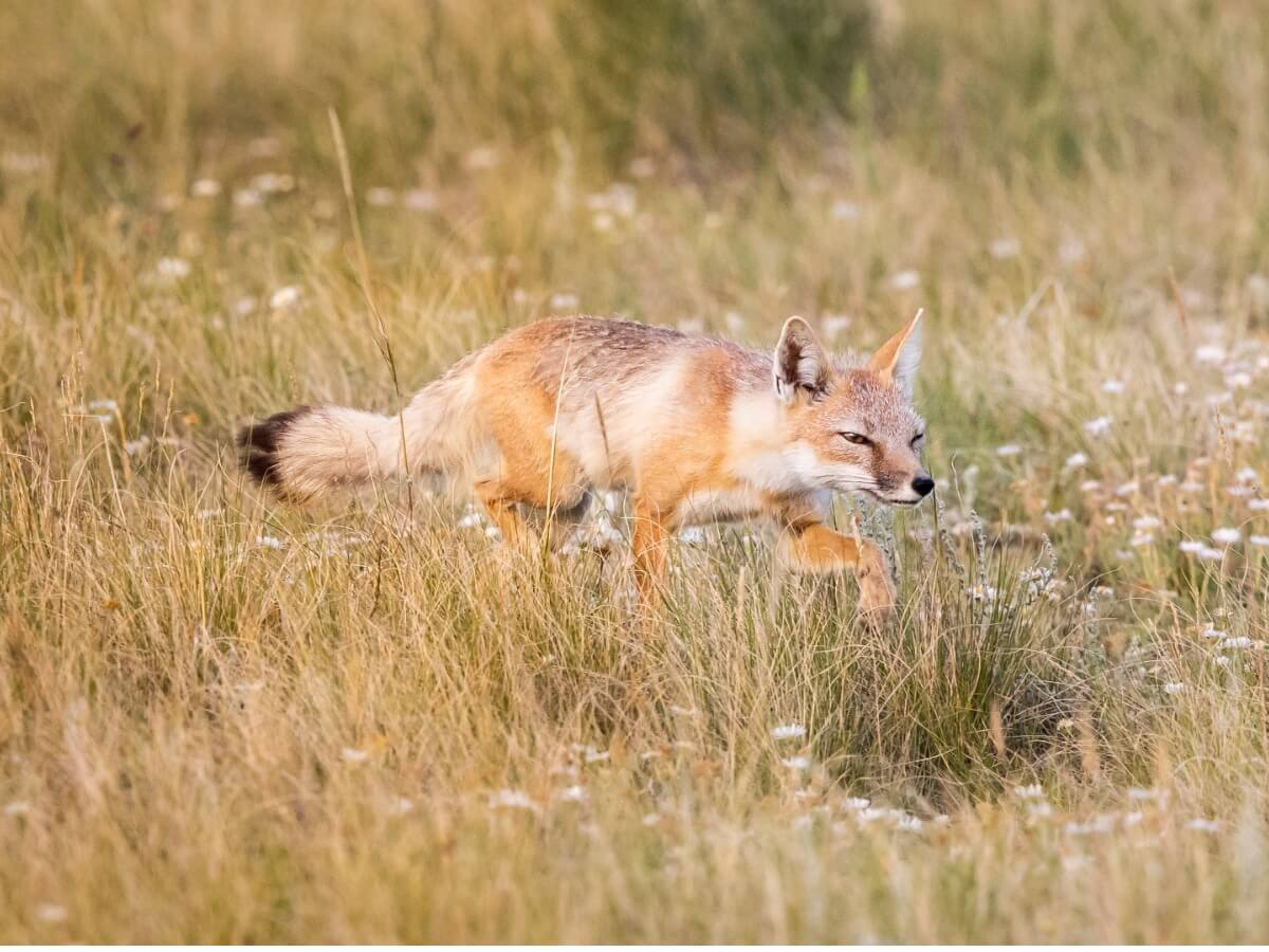 Un zorro veloz corriendo.