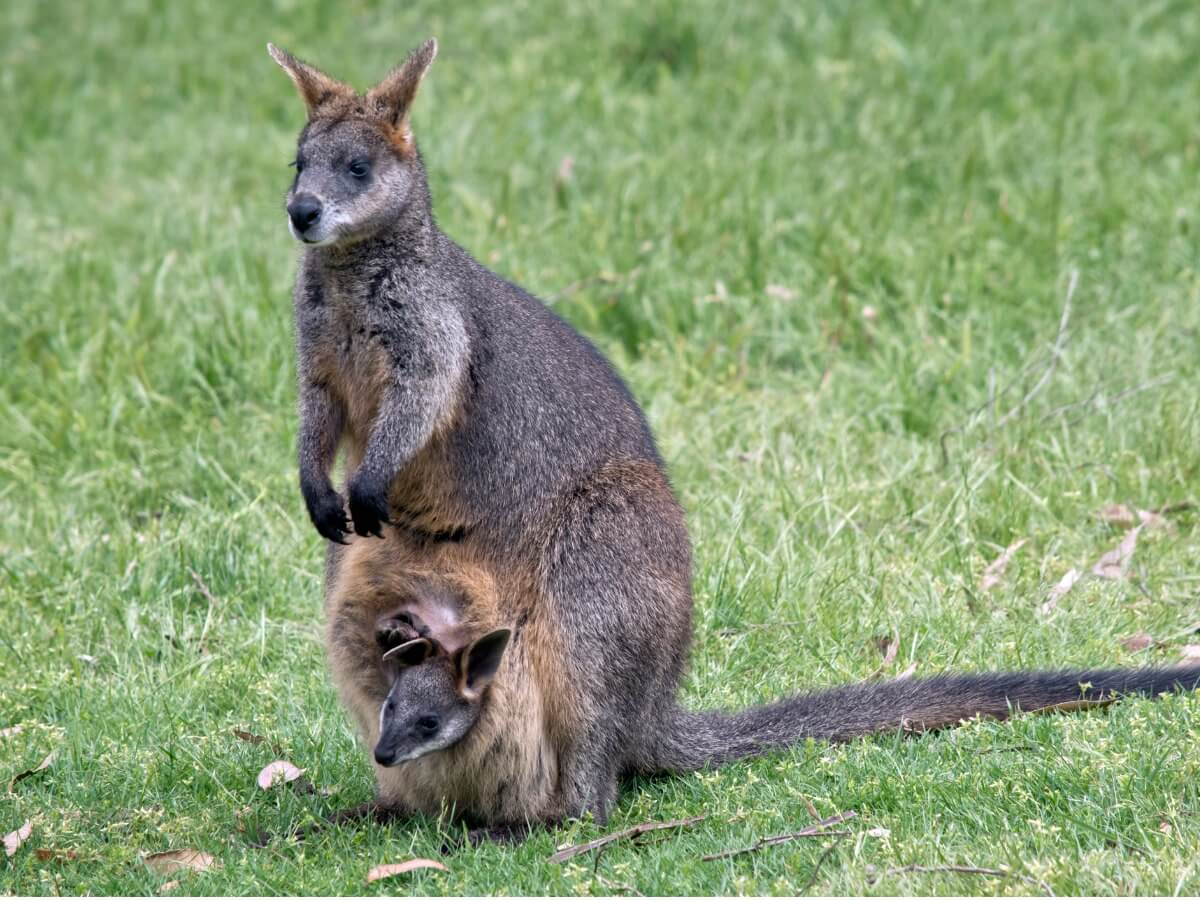 One of the types of marsupials.