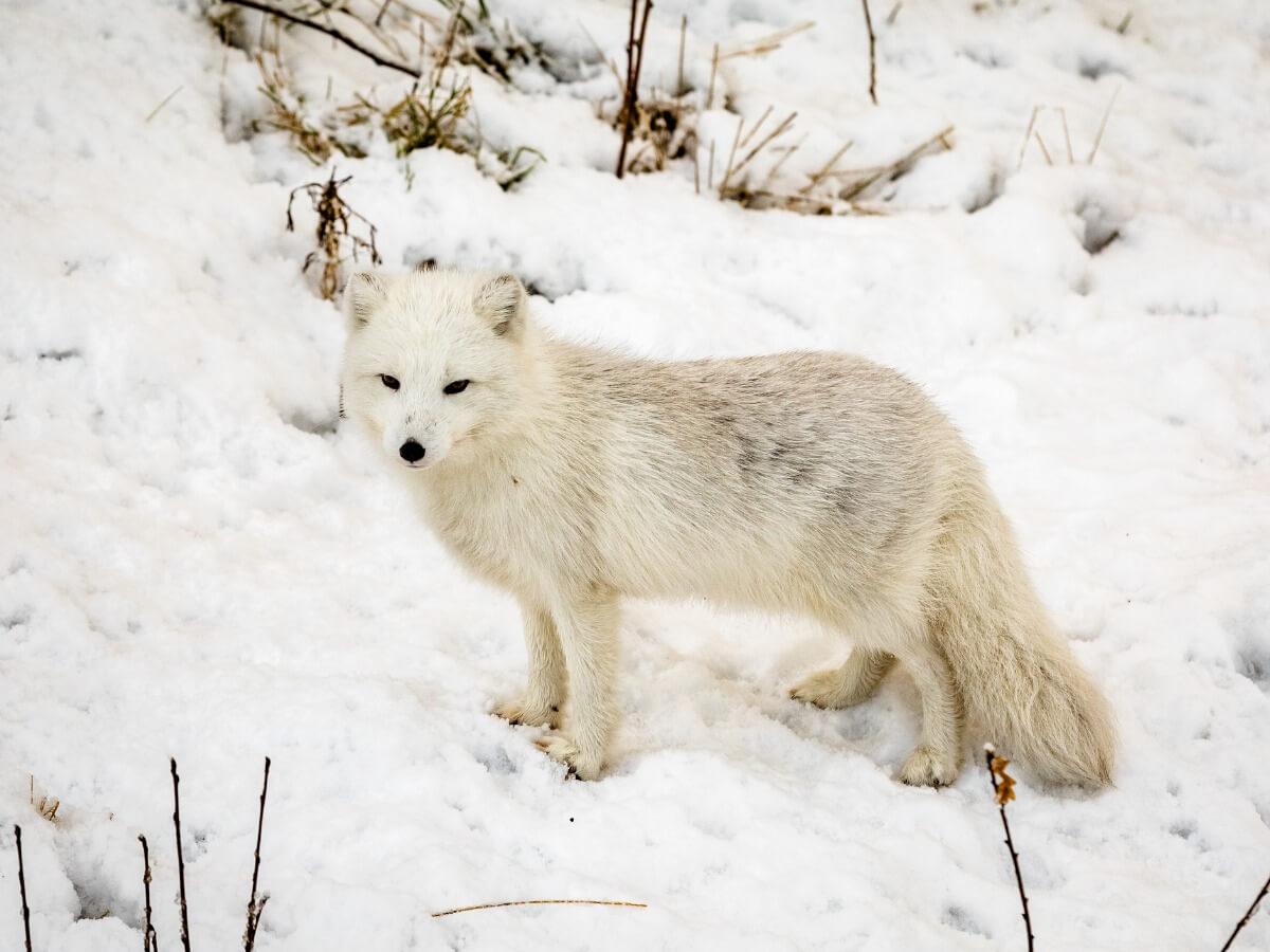 Uno degli animali in via di estinzione al Polo Nord.