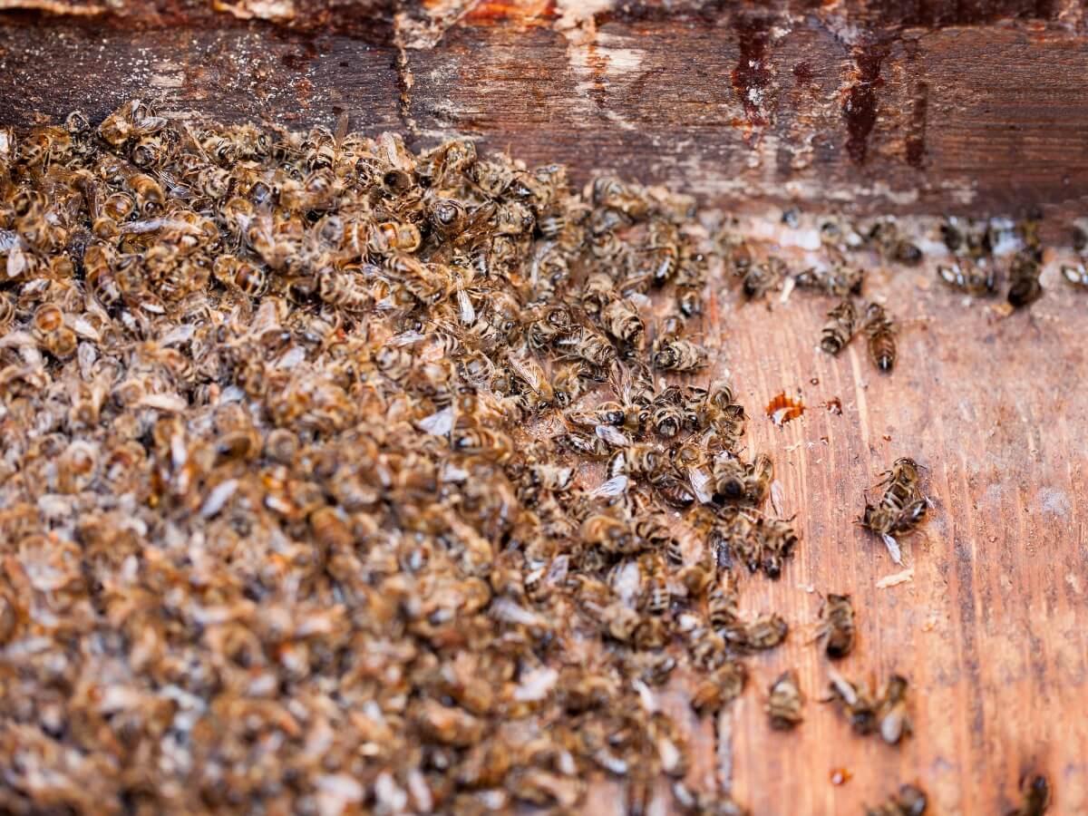 Et stort antal døde bier.