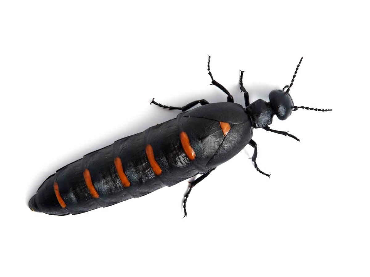 Um dos insetos mais venenosos do mundo.