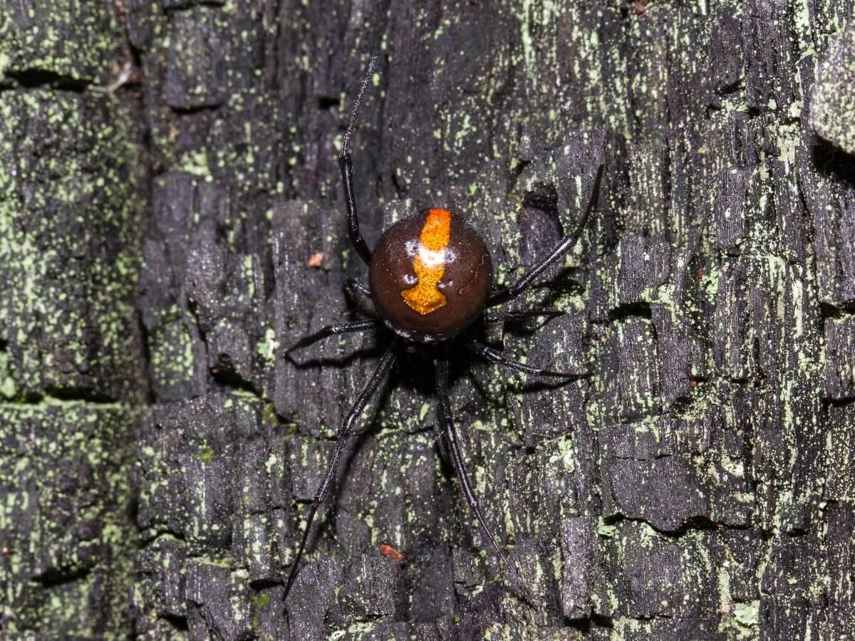 Um dos tipos de aranhas venenosas.