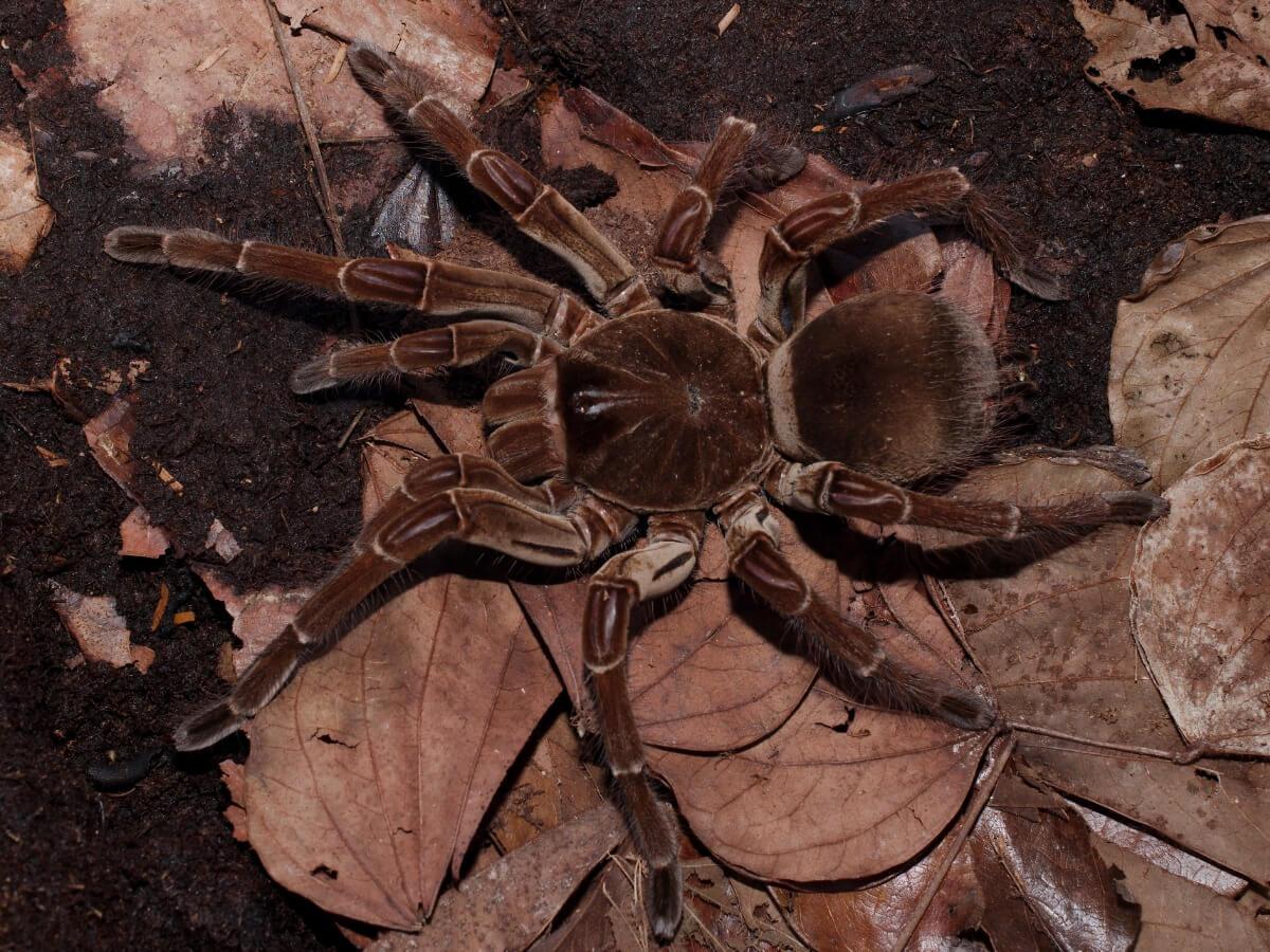 Uma aranha Golias.