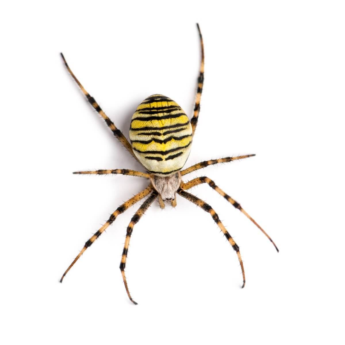 Une araignée sur fond blanc.