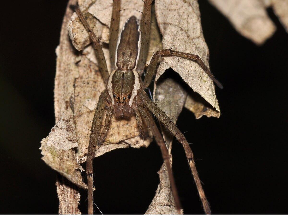 Uma aranha vagabunda.