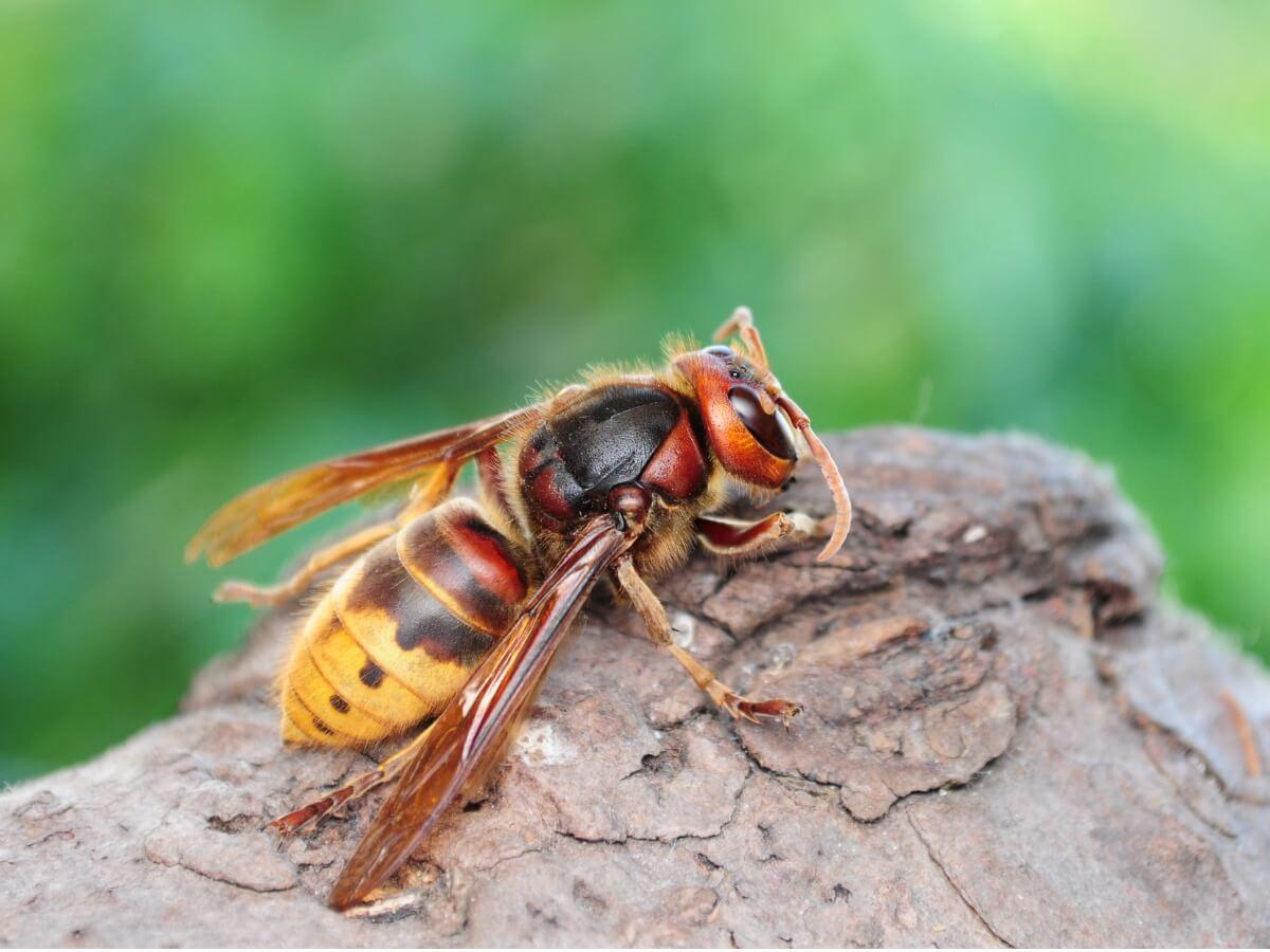 Uma vespa europeia no campo.